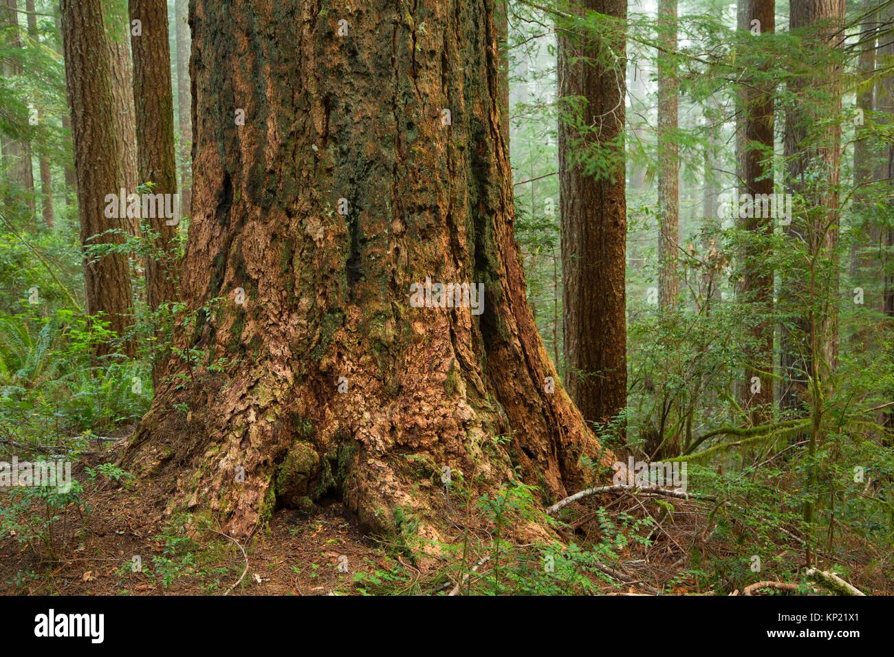 Coast redwood along Oregon Redwoods Interpretive Trail, Siskiyou National Forest, Oregon. - Stock Image