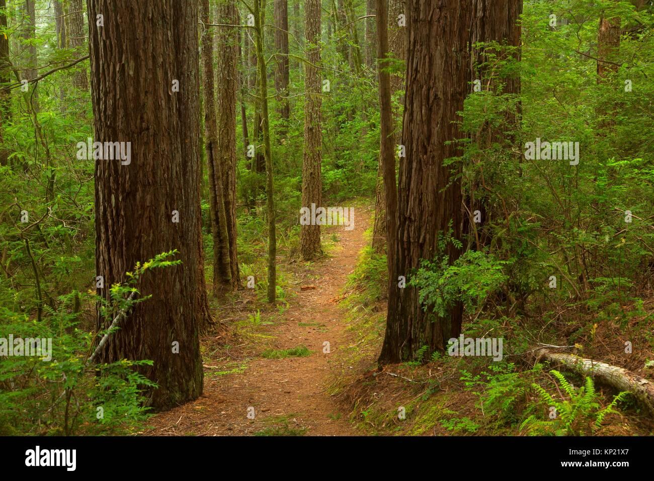 Oregon Redwoods Interpretive Trail, Siskiyou National Forest, Oregon. - Stock Image