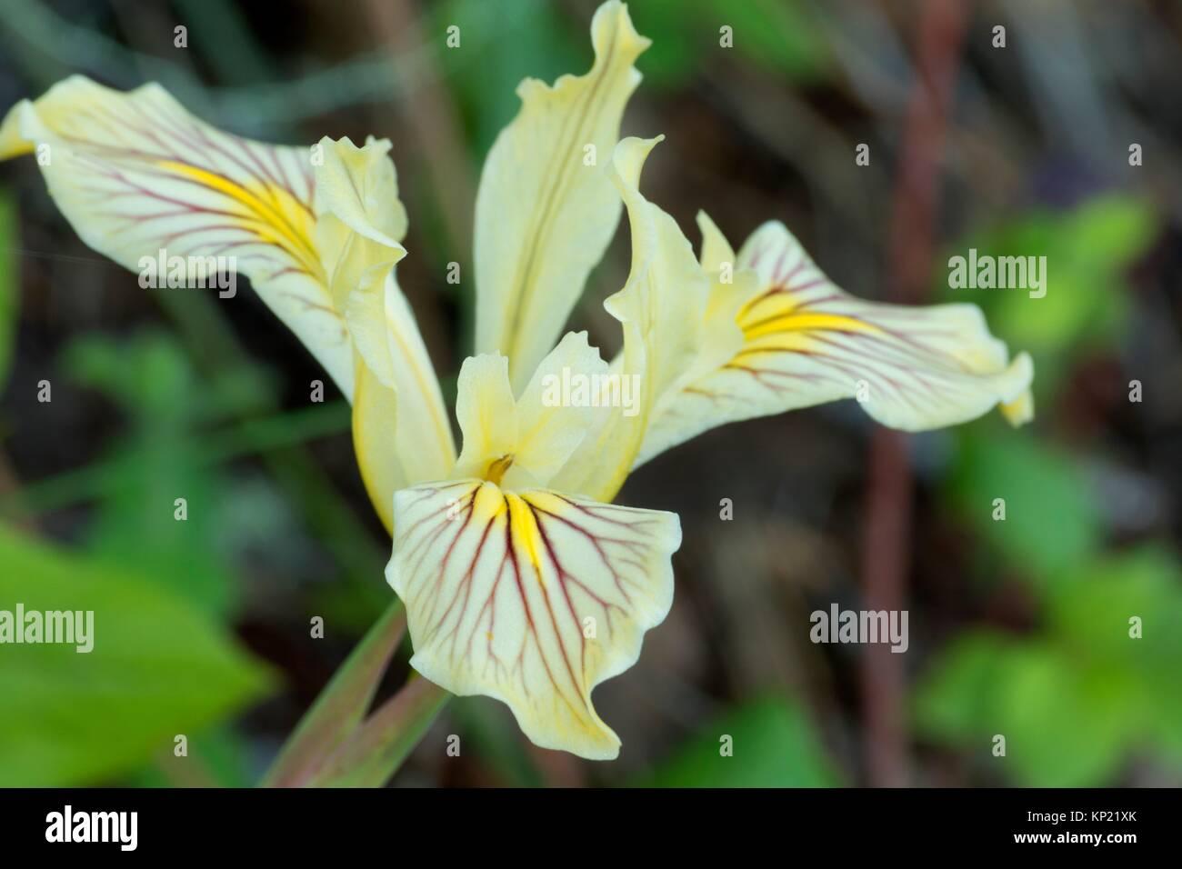 Siskiyou iris (Iris bracteata) along Little Falls Trail, Illinois Wild and Scenic River, Siskiyou National Forest, - Stock Image