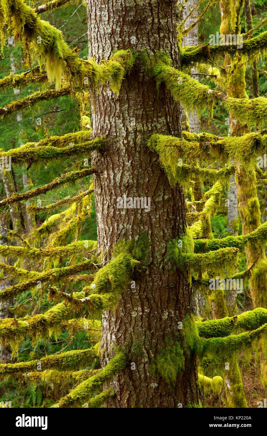 Douglas fir along Spruce Run Creek Trail, Clatsop State Forest, Oregon. - Stock Image