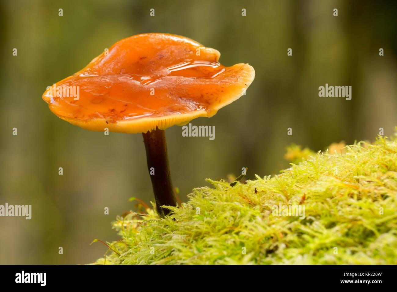 Mushroom along Spruce Run Creek Trail, Clatsop State Forest, Oregon. - Stock Image