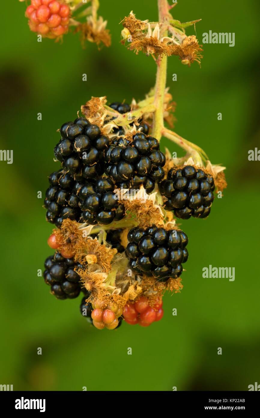Blackberries, Willamette Mission State Park, Oregon. - Stock Image