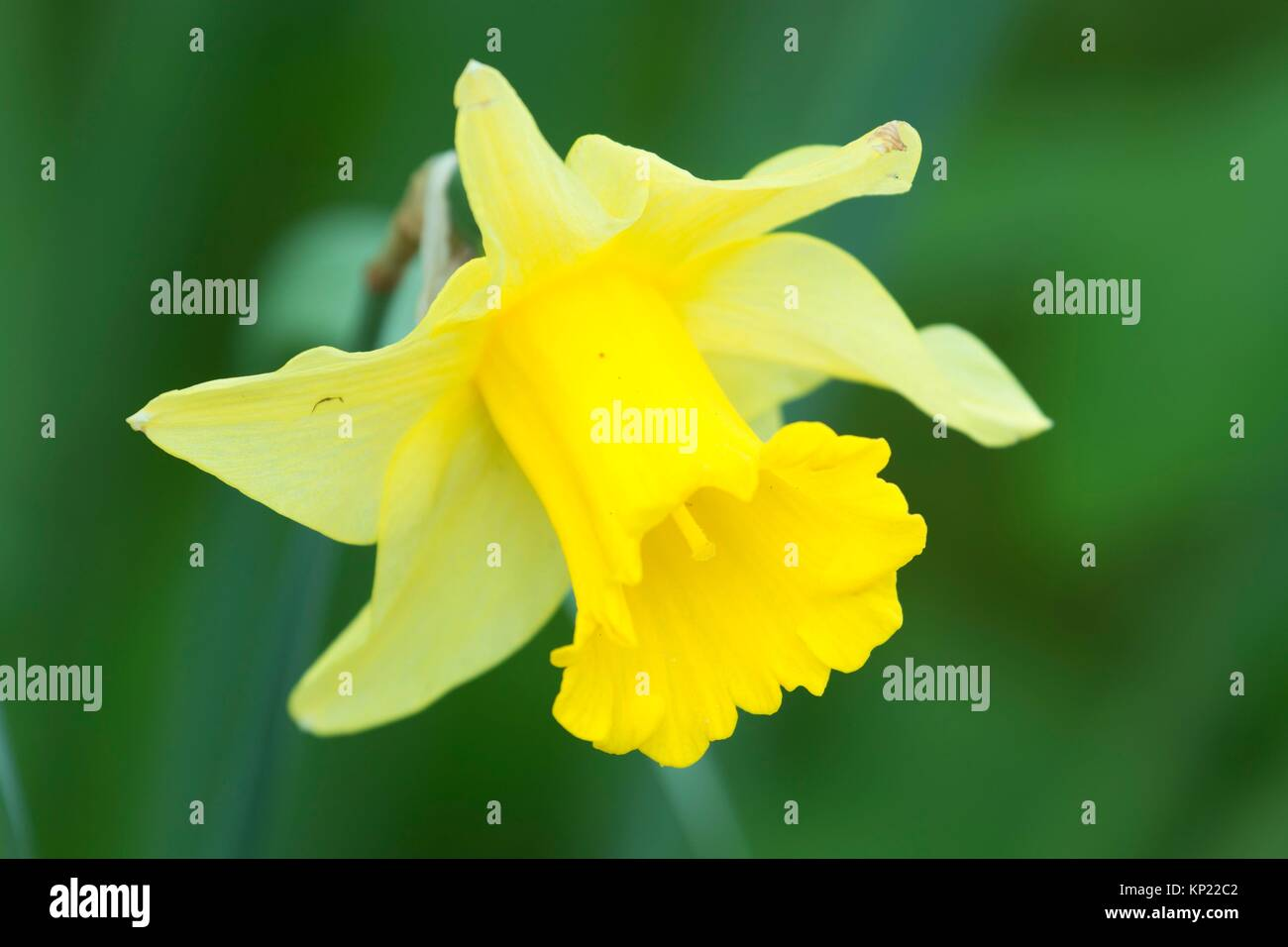 Daffodil, Bushs Pasture Park, Salem, Oregon. - Stock Image