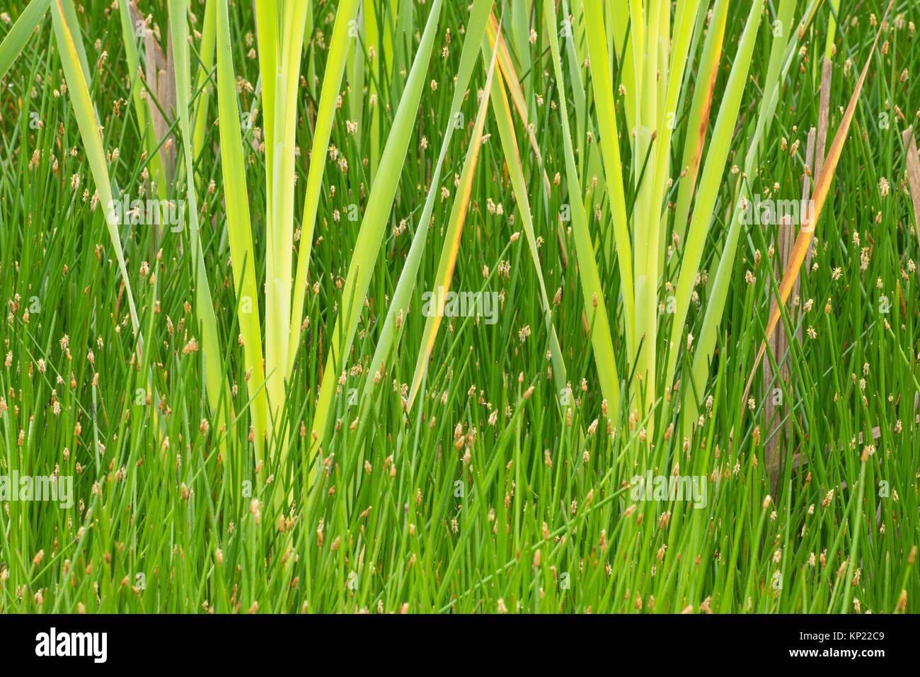 Eagle Marsh cattails, Ankeny National Wildlife Refuge, Oregon. - Stock Image