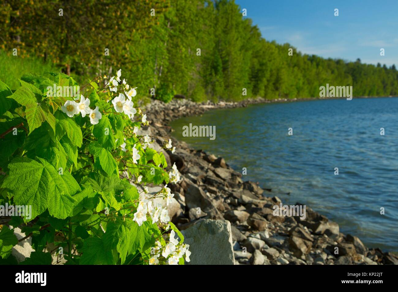 Lake Pend Oreille with thimbleberry bloom from Pend dâ.Oreille Bay Trail, Sandpoint, Idaho. - Stock Image