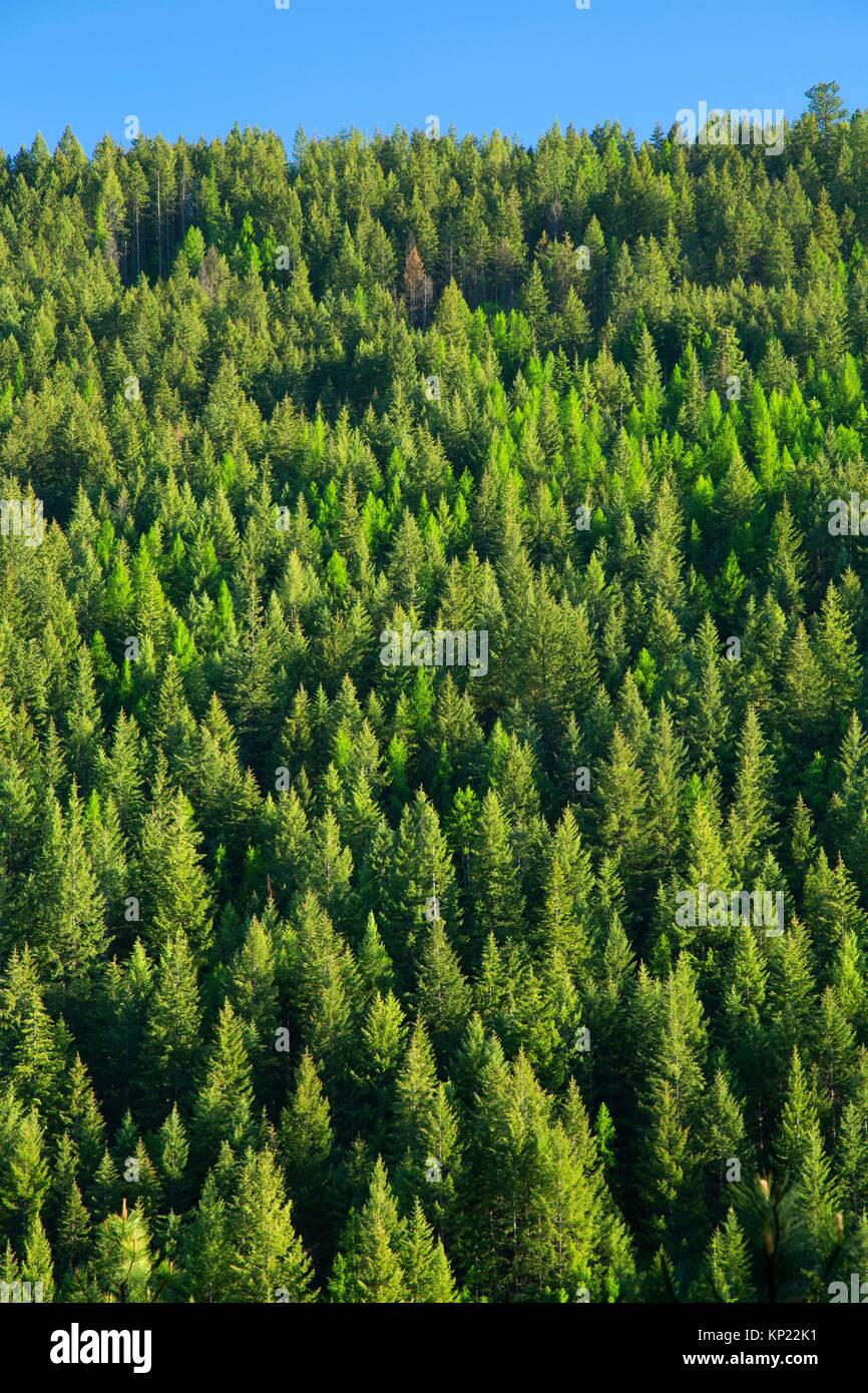 Forest slope from Snow Creek Falls Trail, Kaniksu National Forest, Idaho. - Stock Image