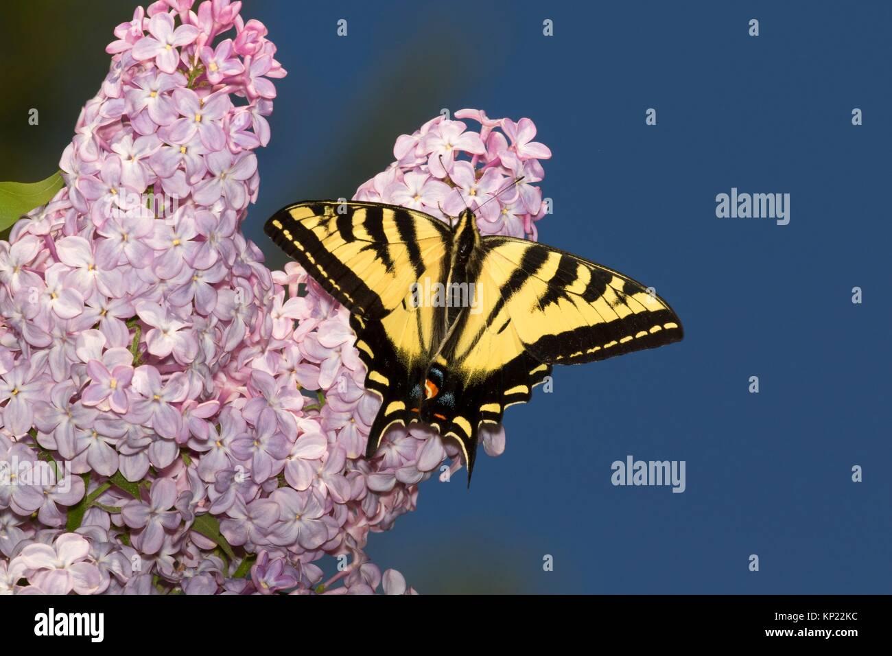 Swallowtail butterfly on lilac, Kootenai National Wildlife Refuge, Idaho. - Stock Image