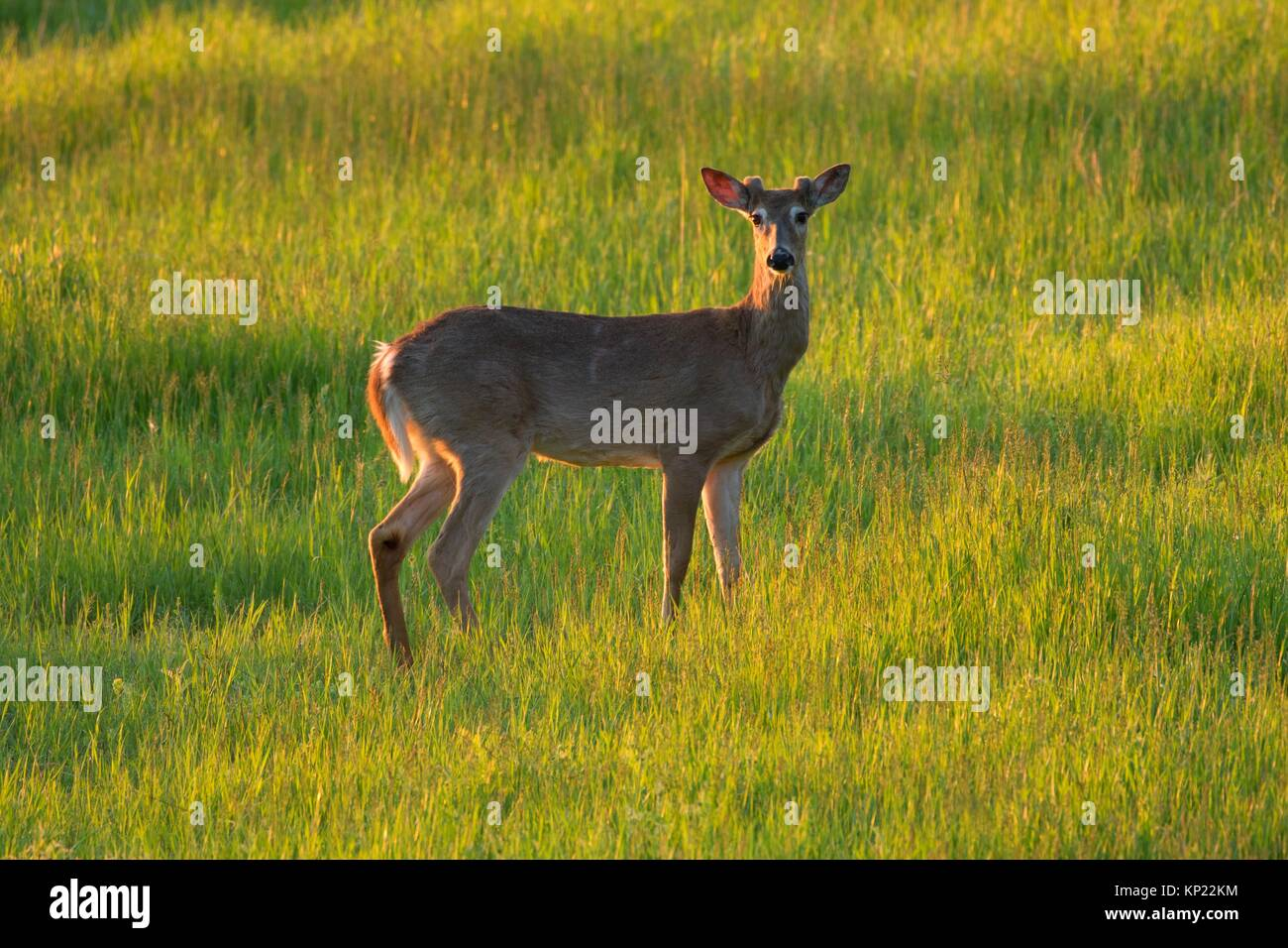 White-tailed deer (Odocoileus virginianus), Kootenai National Wildlife Refuge, Idaho. - Stock Image