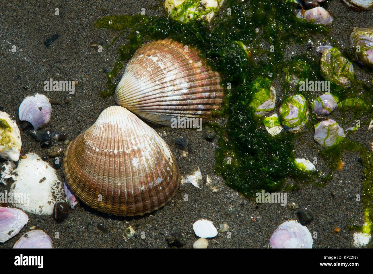 Clam shells, Foulweather Bluff Preserve, Washington. Stock Photo