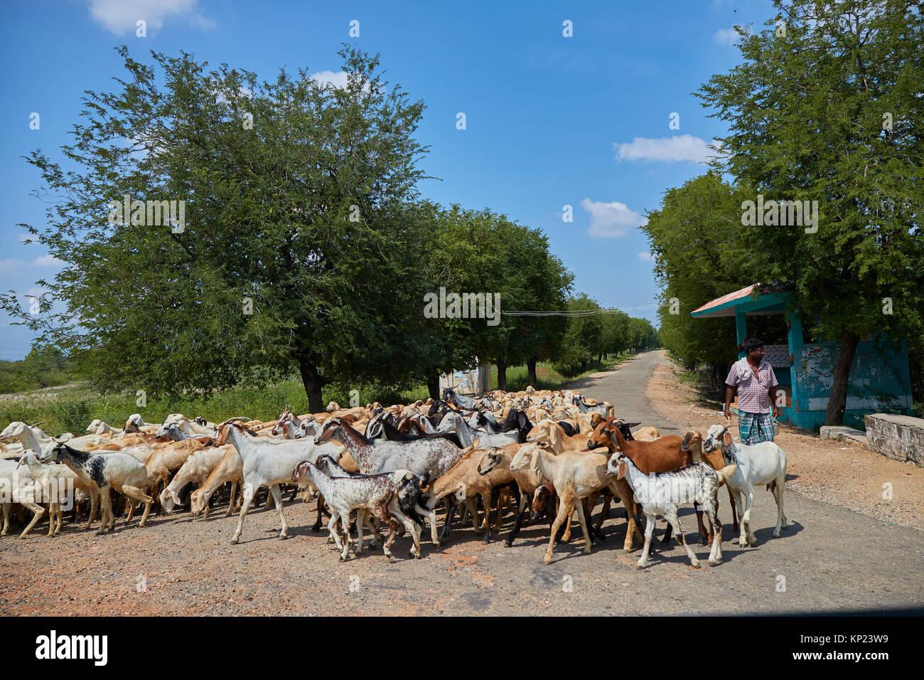 India Group Of Goats Stock Photos & India Group Of Goats