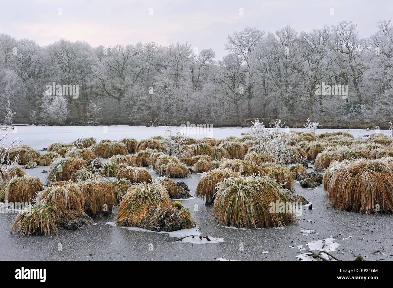 Greater tussok-sedge (Carex paniculata) in the pond of Guiperreux, Forest of Rambouillet, Haute Vallee de Chevreuse - Stock Image