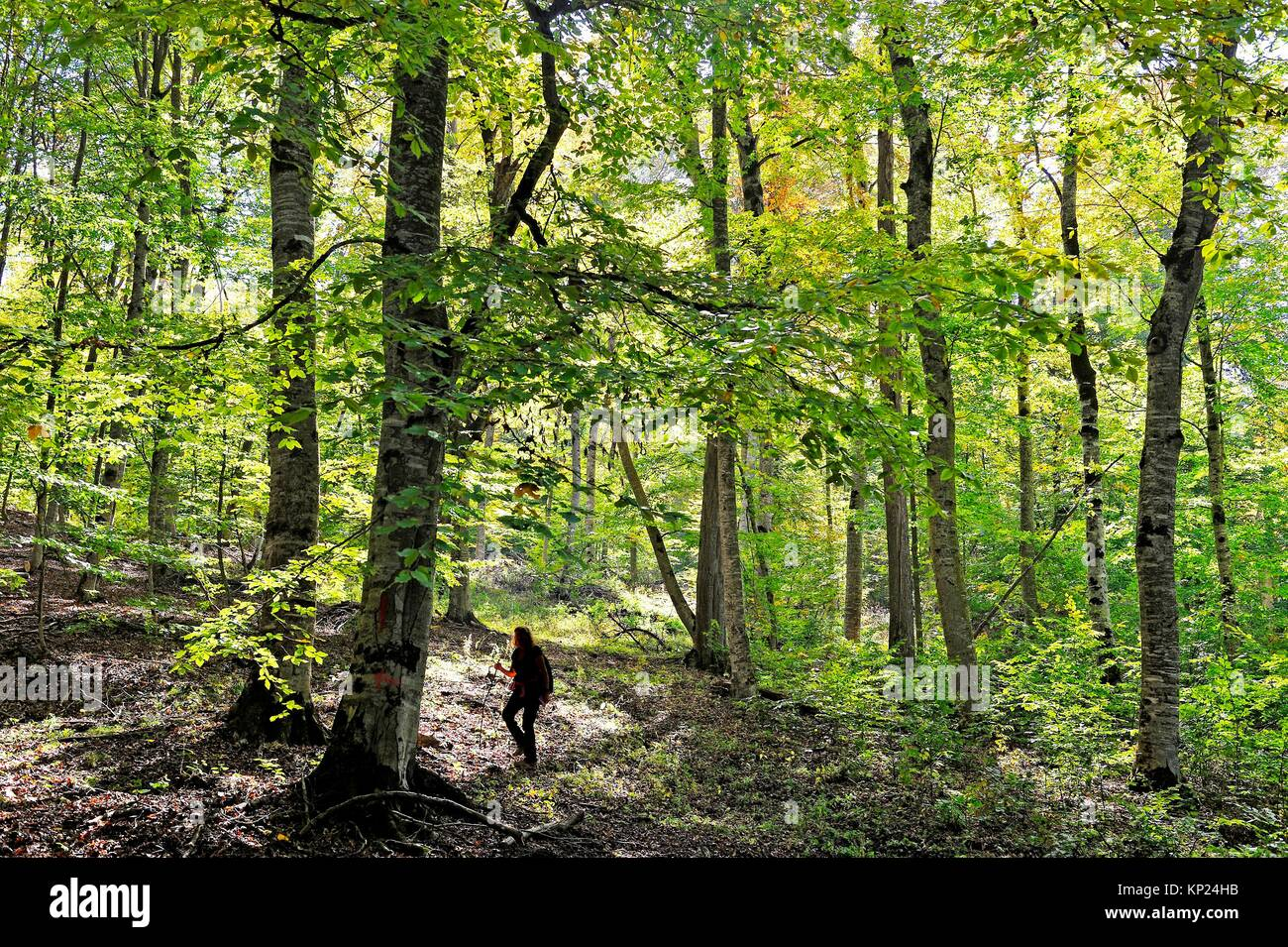 beech trees in the forest of the Dilijan National Park, Tavush region, Armenia, Eurasia. - Stock Image