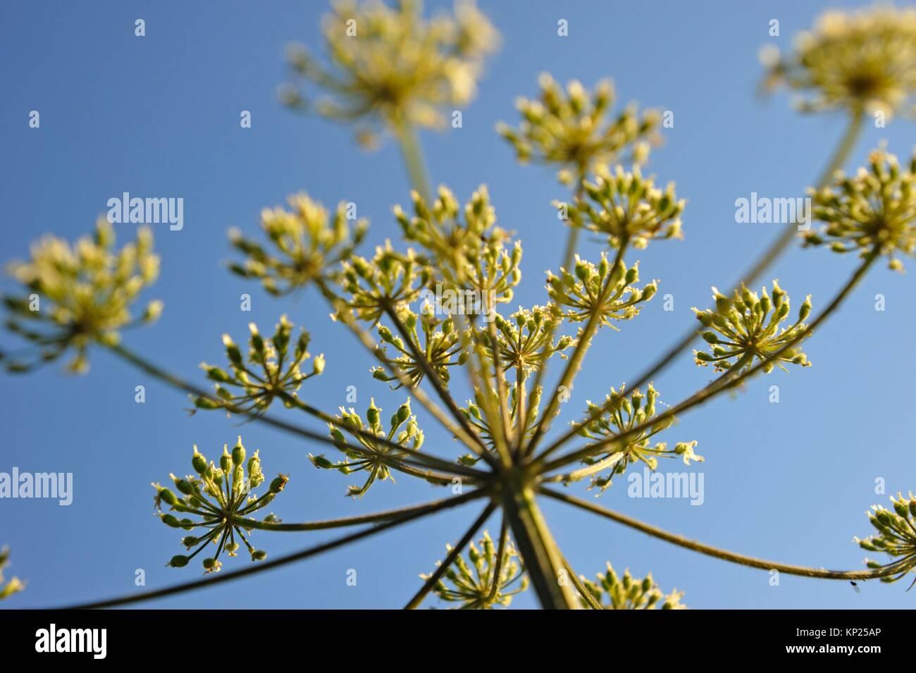 umbel of apiaceae, France, Europe. Stock Photo