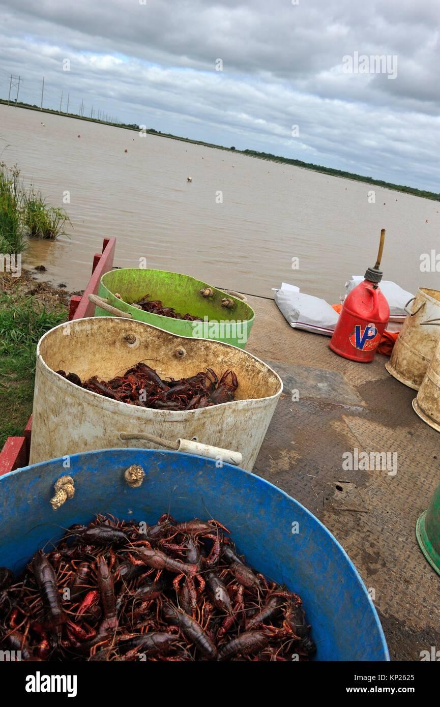 Crayfish farm near Beaumont, Texas, United States of America, North America - Stock Image