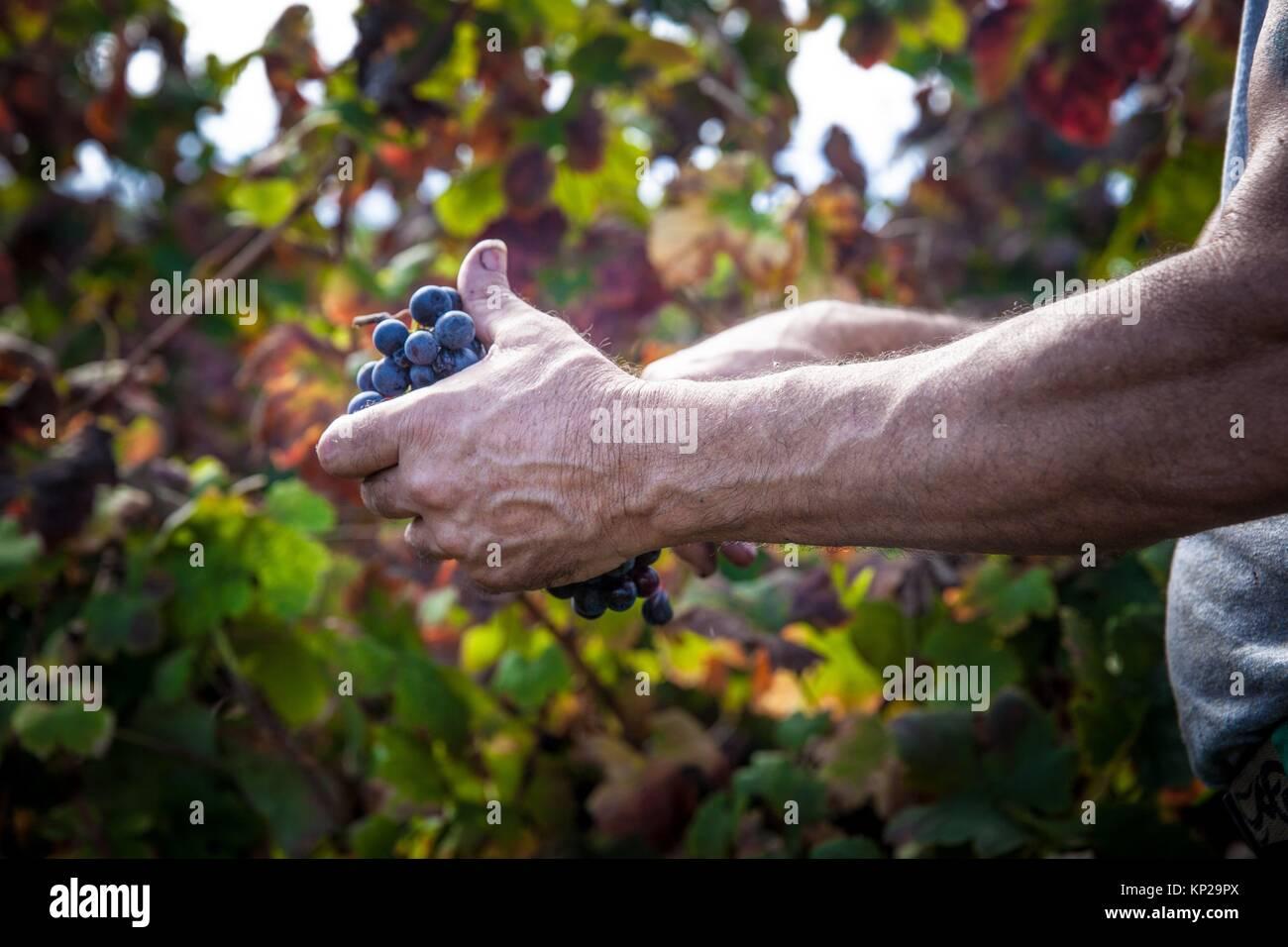Landworker picking grapes during the grape harvest season in Tenerife island - Stock Image