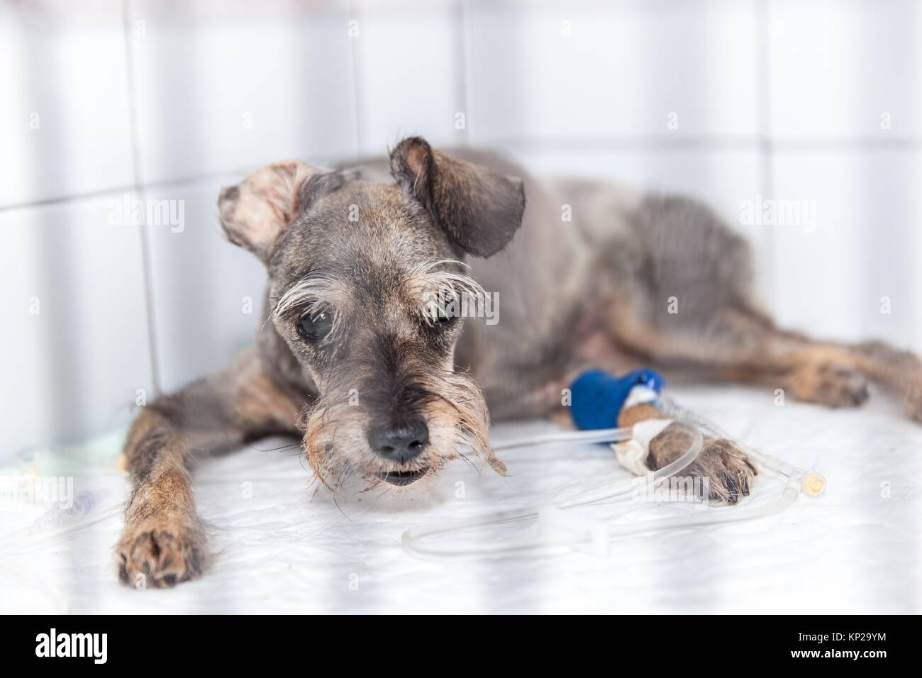 dog at the vet´s undergoing a medical treatment Stock Photo