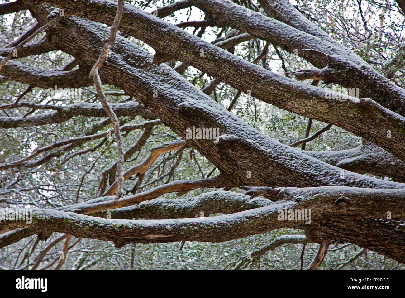 A snow covered tree on CHEWS RIDGE in LOS PADRES NATIONAL FOREST - CARMEL VALLEY, CALIFORNIA - Stock Image
