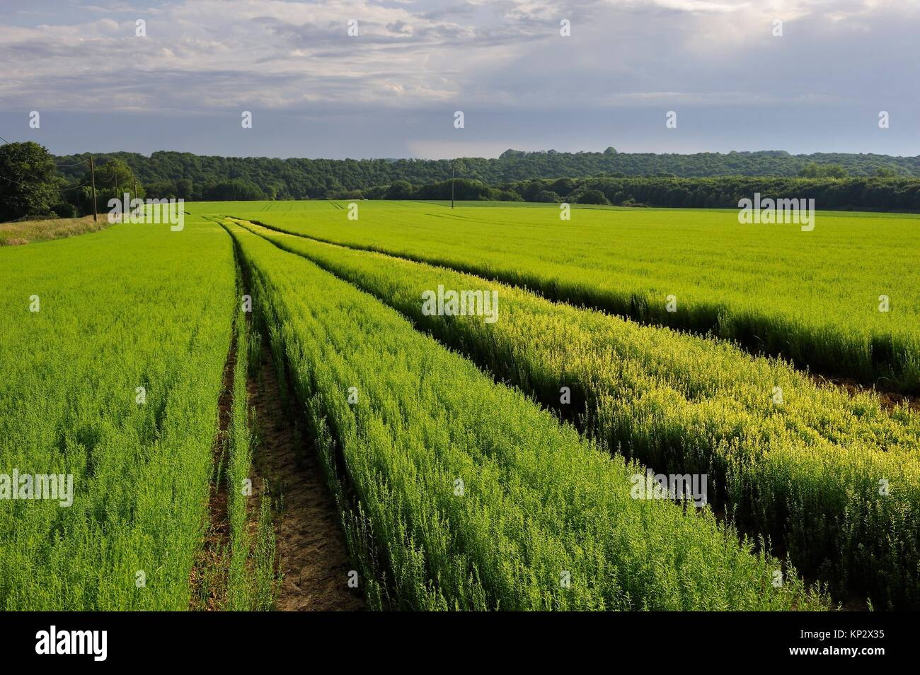 flax field at Cuverville-en-Caux, department of Seine-Maritime, Normandy, France, Europe. - Stock Image