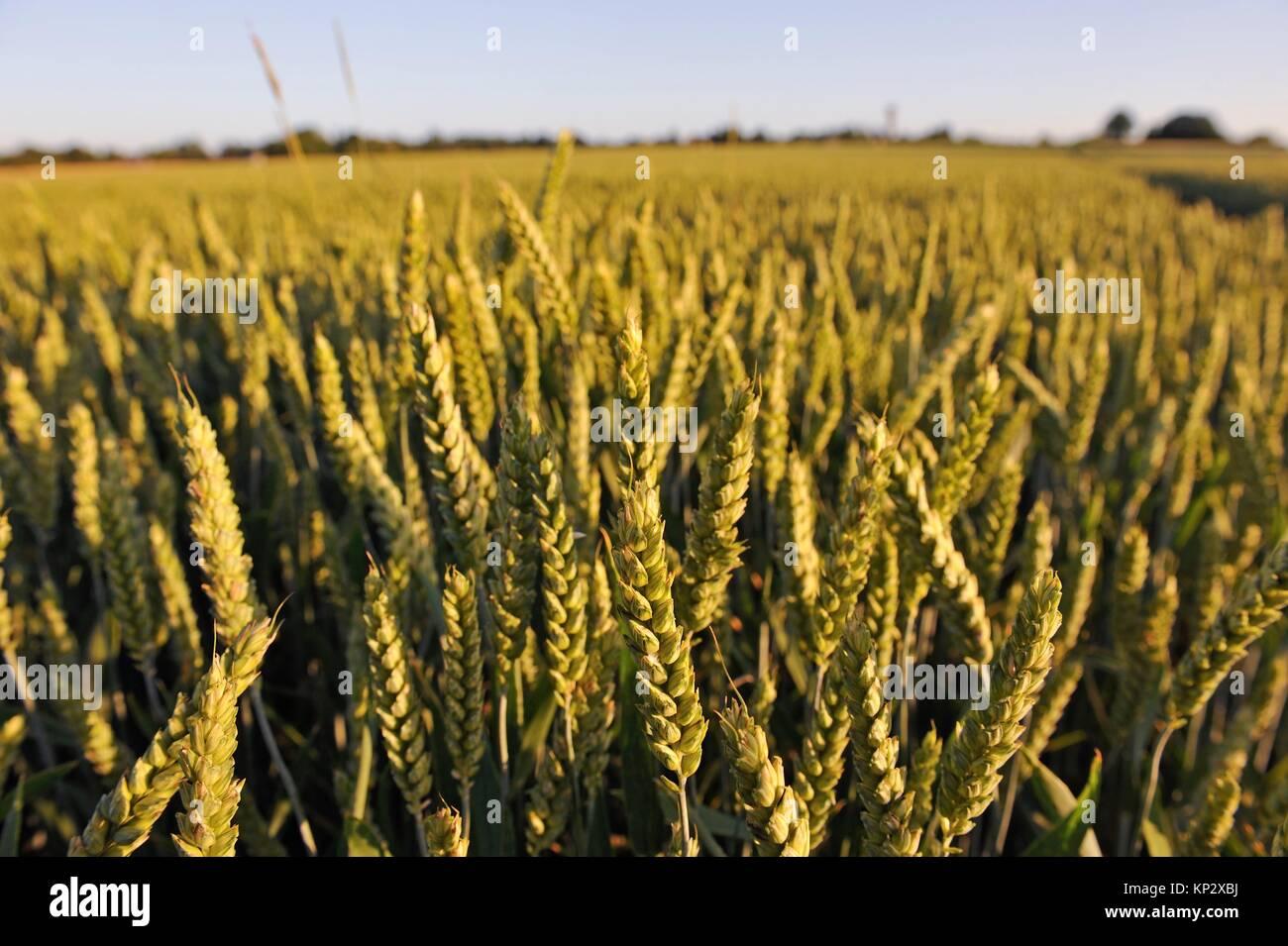wheat field, Centre-Val de Loire region, France, Europe. - Stock Image