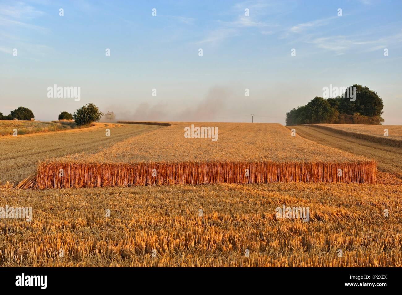 moisson, departement Eure-et-Loir, region Centre-Val de Loire, France, Europe/harvesting, Eure-et-Loir department - Stock Image