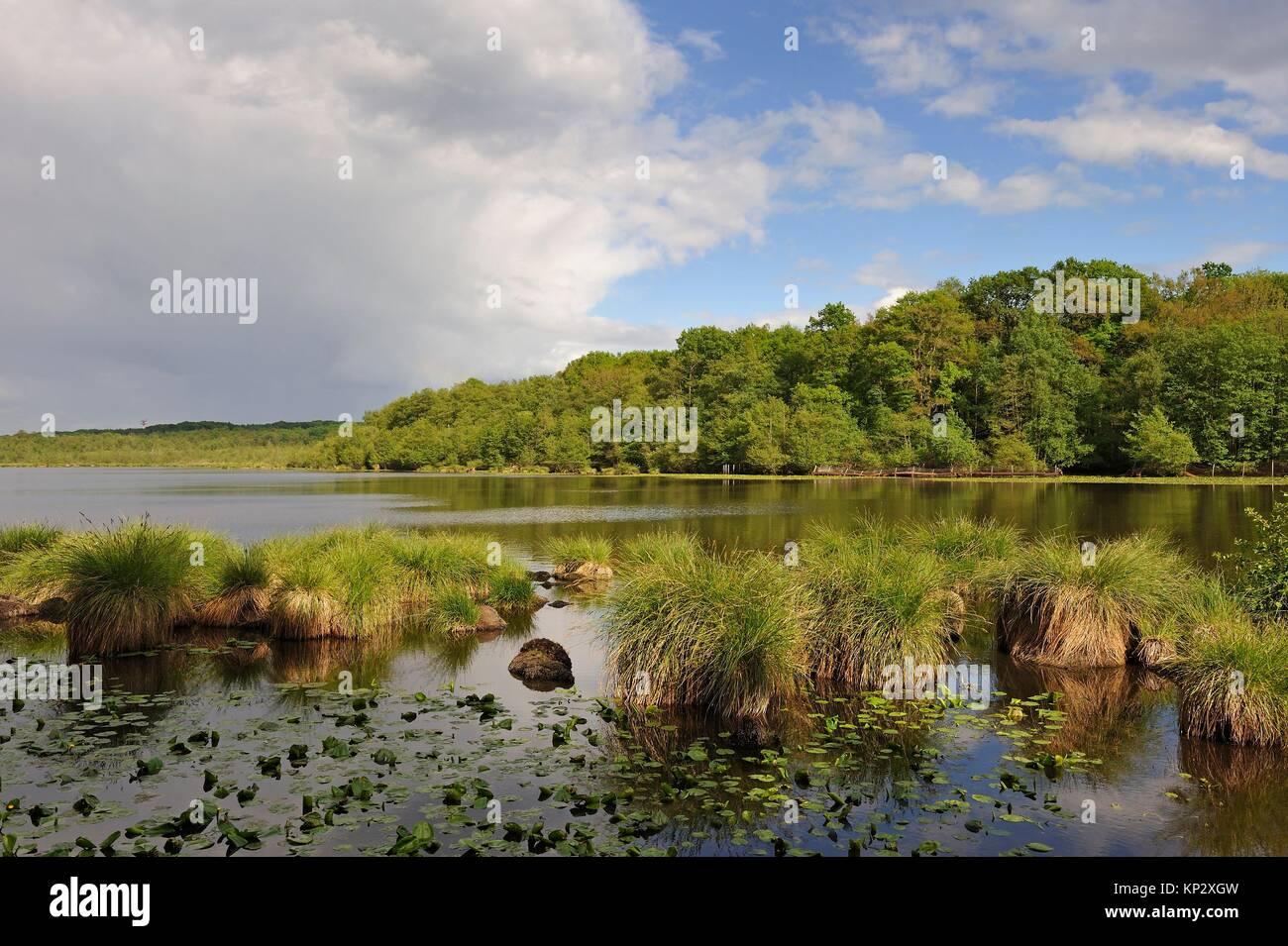 Laiche paniculee (Carex paniculata), Etang de Guiperreux en lisiere de la Foret de Rambouillet, Parc naturel regional - Stock Image