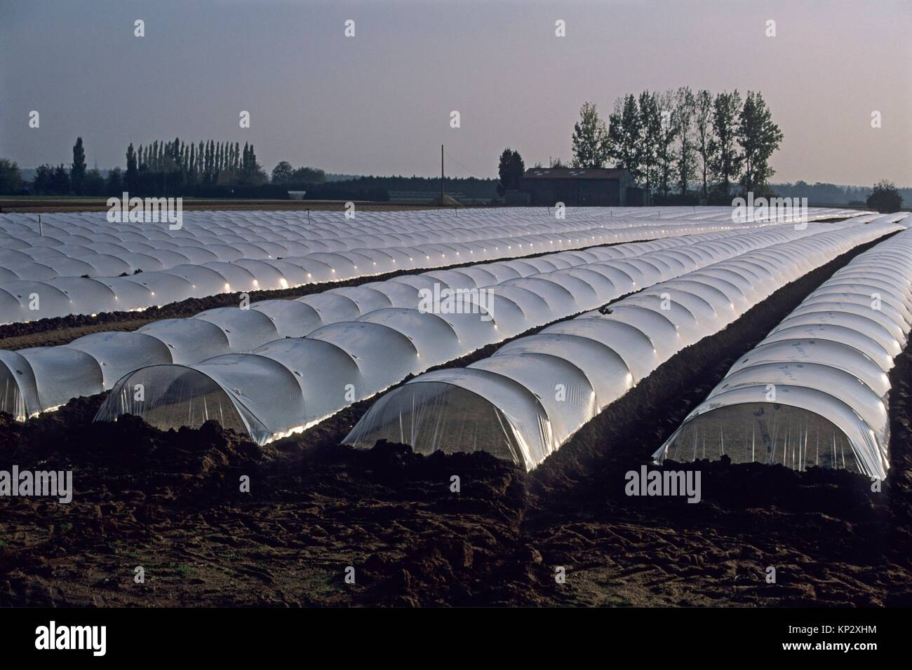agriculture maraichere de mache (Valerianella locusta), region de Nantes, departement de Loire-Atlantique, region Stock Photo