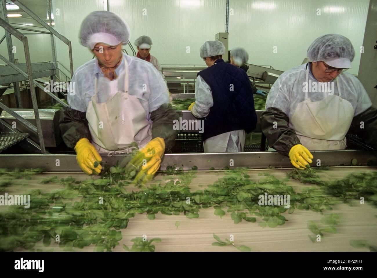 tri apres la recolte, agriculture maraichere de mache (Valerianella locusta), region de Nantes, departement de Loire Stock Photo
