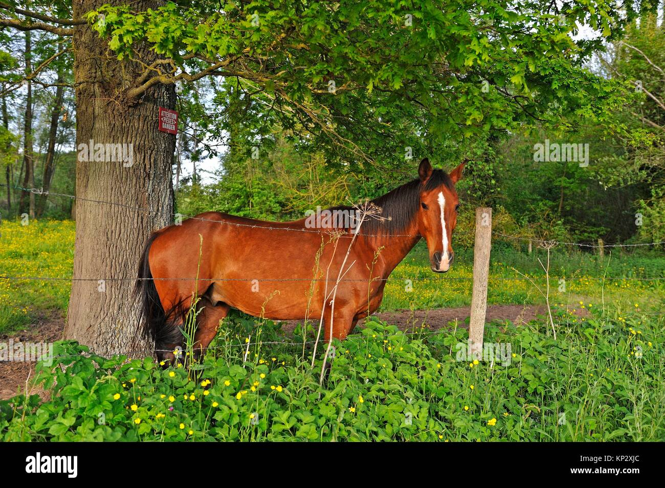 bay horse under an oak tree, Eure-et-Loir department, Centre-Val de Loire region, France, Europe. - Stock Image