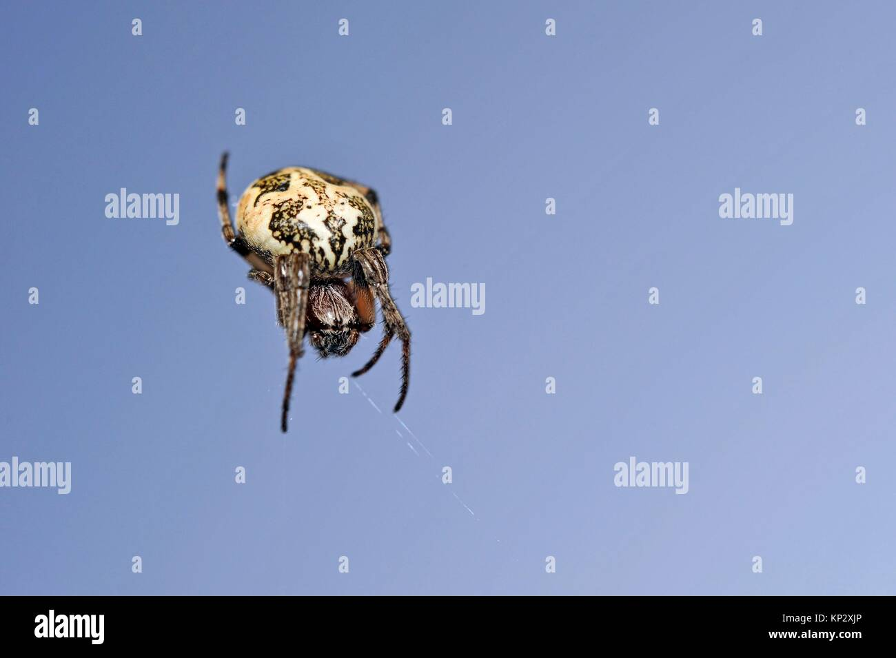 furrow spider (Larinioides cornutus), Eure-et-Loir department, Centre-Val de Loire region, France, Europe. - Stock Image