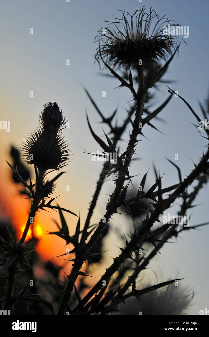 thistle seen against the light, Eure-et-Loir department, Centre-Val de Loire region, France, Europe. - Stock Image
