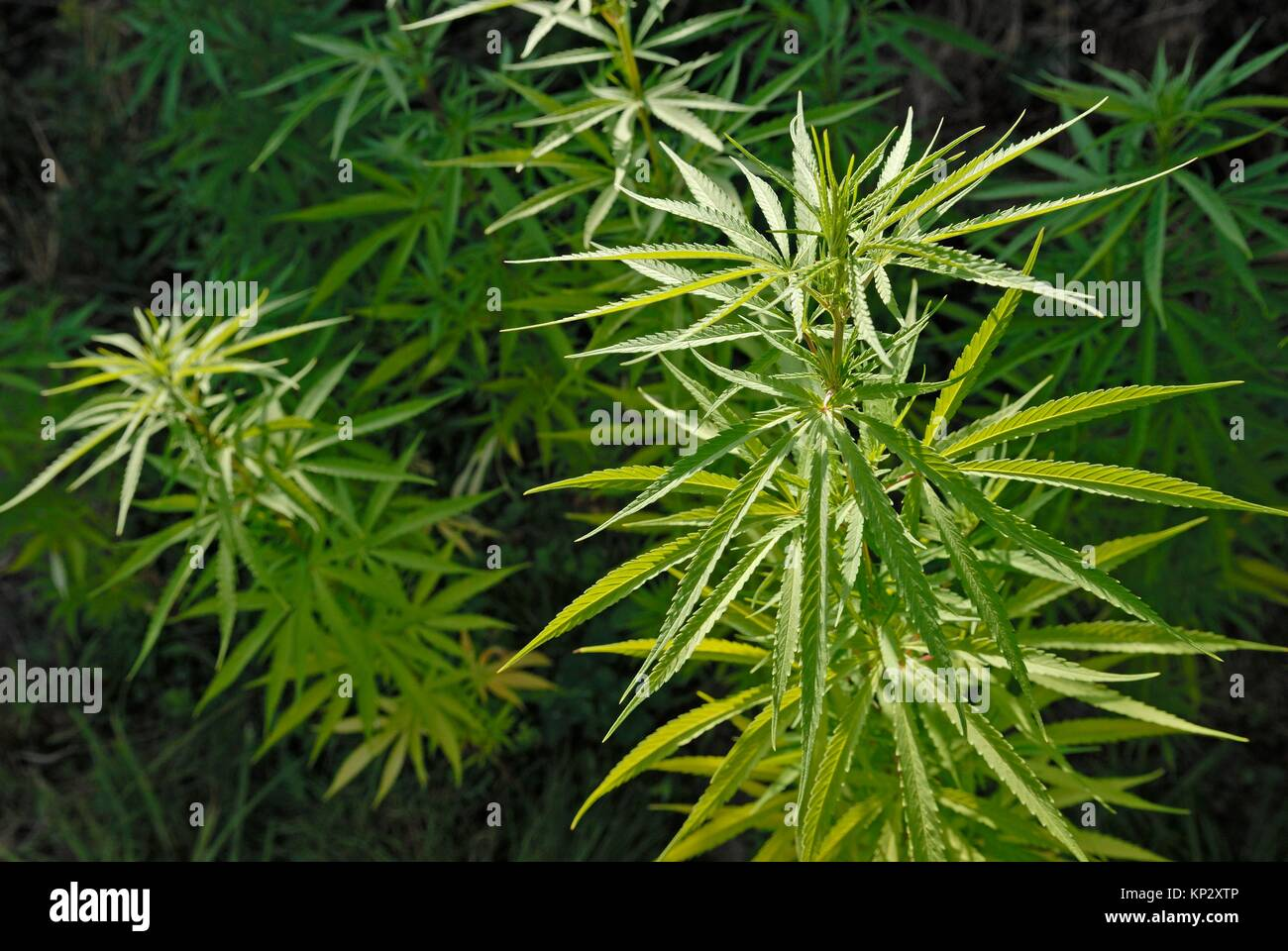 Cannabis sativa plants. - Stock Image
