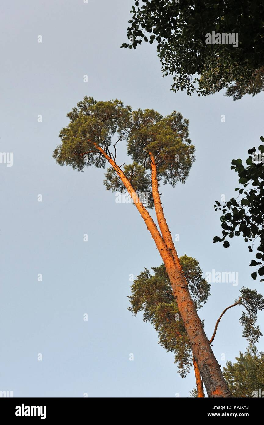 pine tree wood at Rochers d´Angennes site in the Forest of Rambouillet, Haute Vallee de Chevreuse Regional - Stock Image