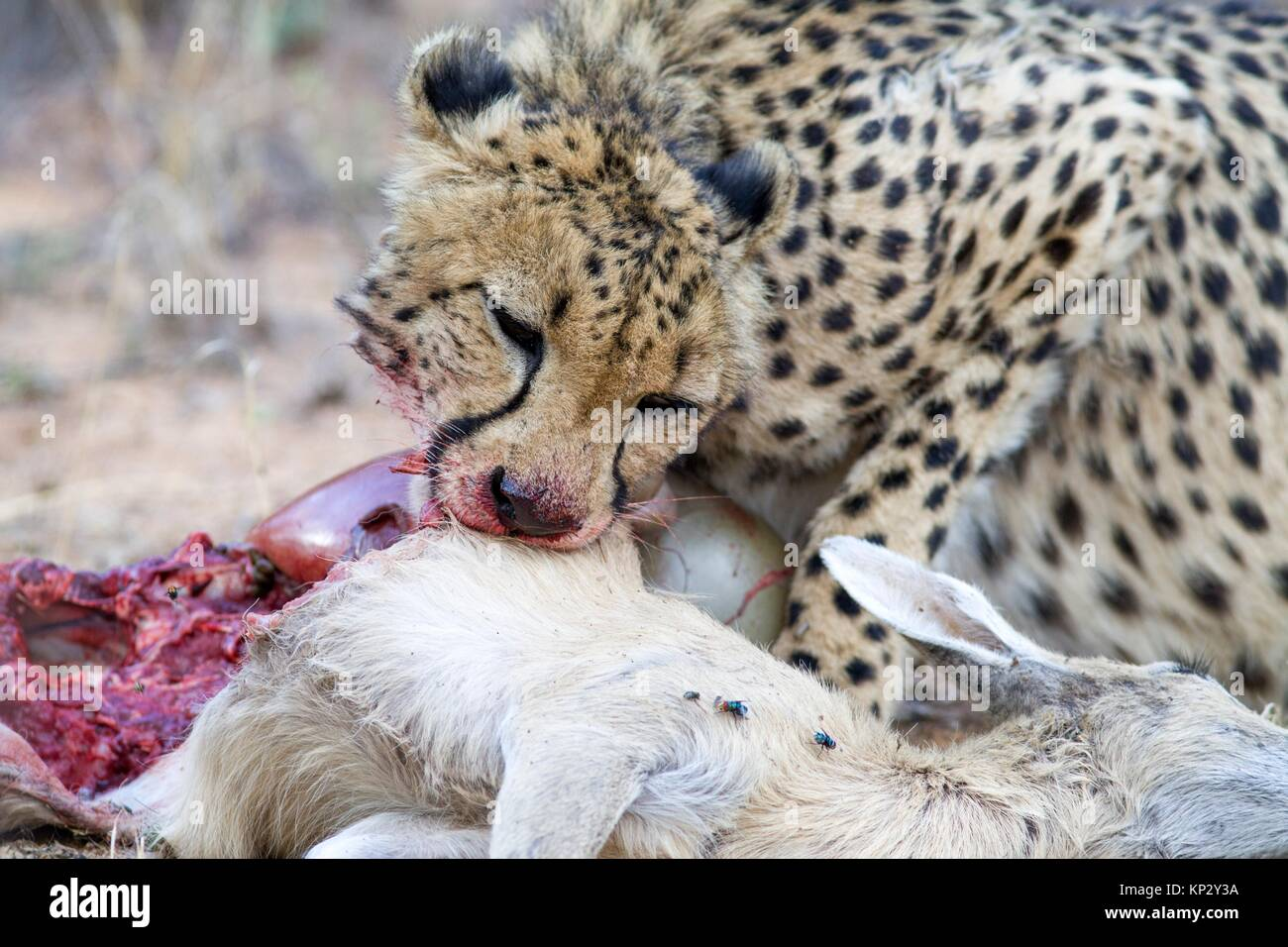 Cheetah and her prey, Okonjima Plains, Namibia - Stock Image