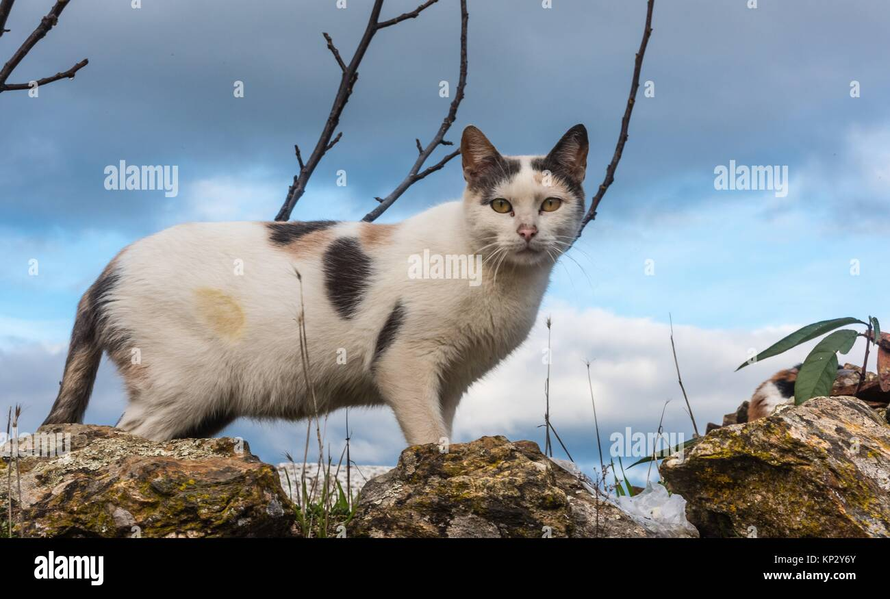 Cat. Natural Park Aracena and Picos de Aroche. Huelva. Andalusia. Spain. - Stock Image