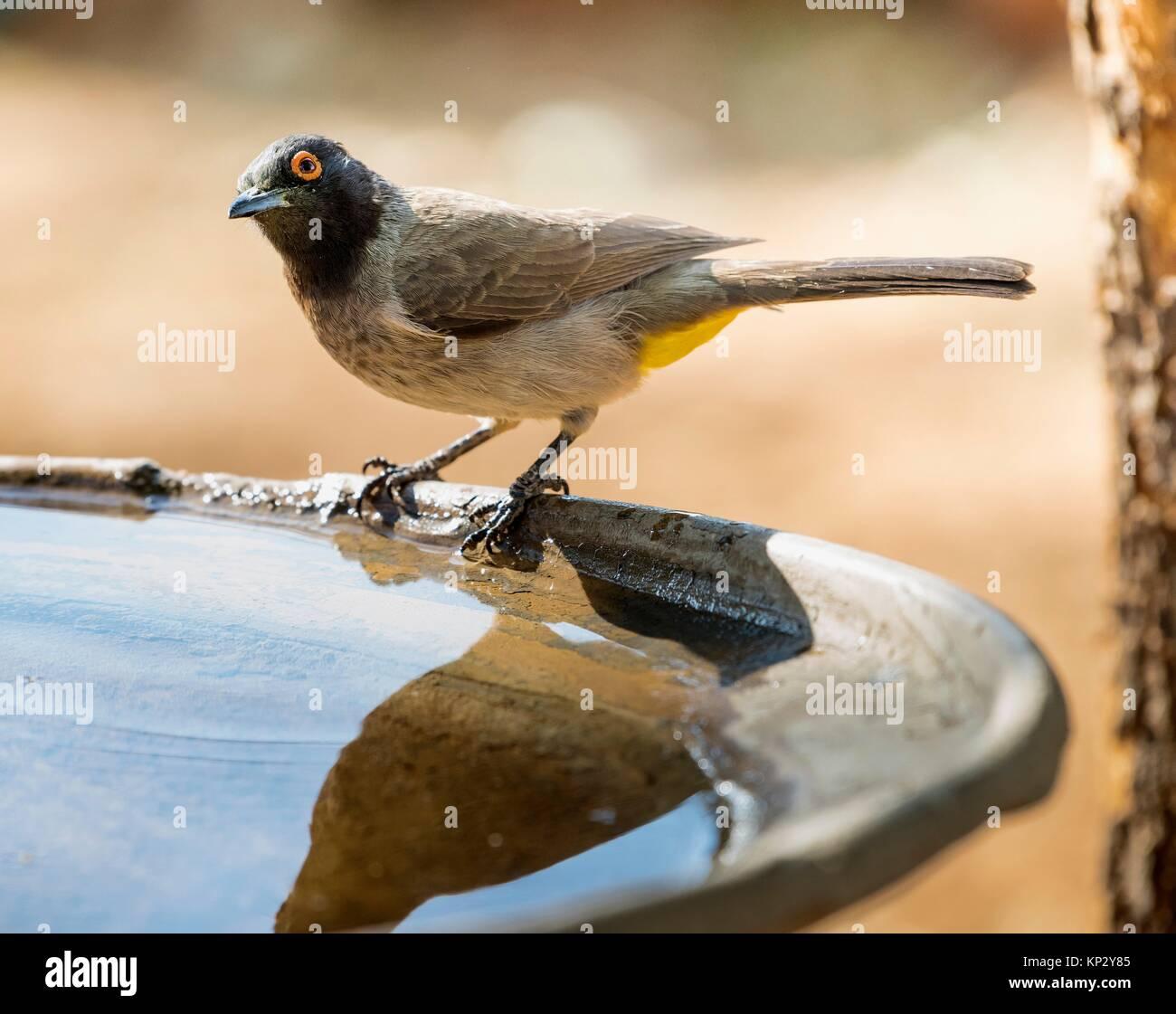 African Red-eyed Bulbul (Pycnonotus nigricans). Windhoek. Namibia - Stock Image