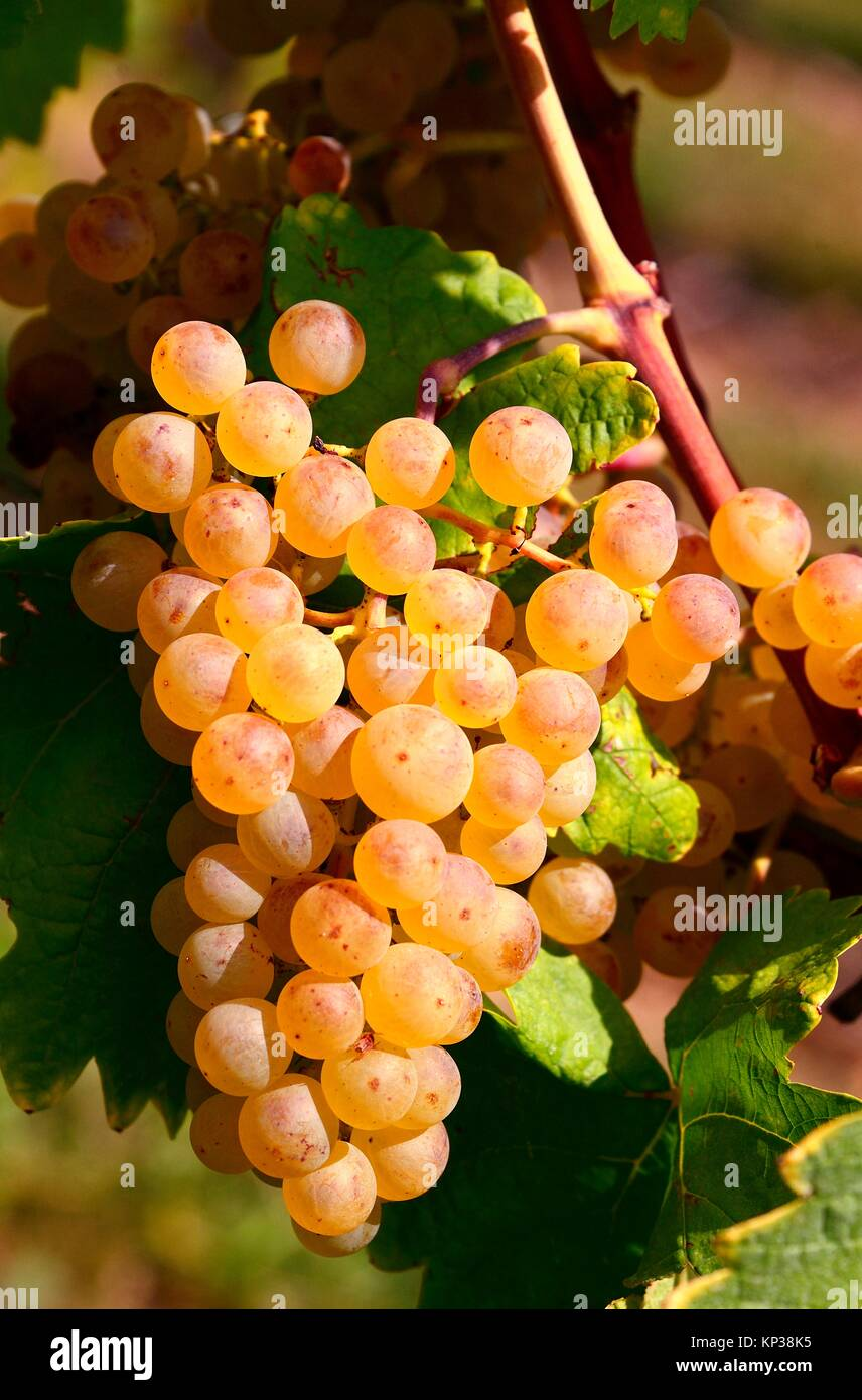 Europe, Switzerland, canton Vaud, La Côte, Nyon district, Mont-sur-Rolle, vineyards in autumn, Muscat Ottonel - Stock Image