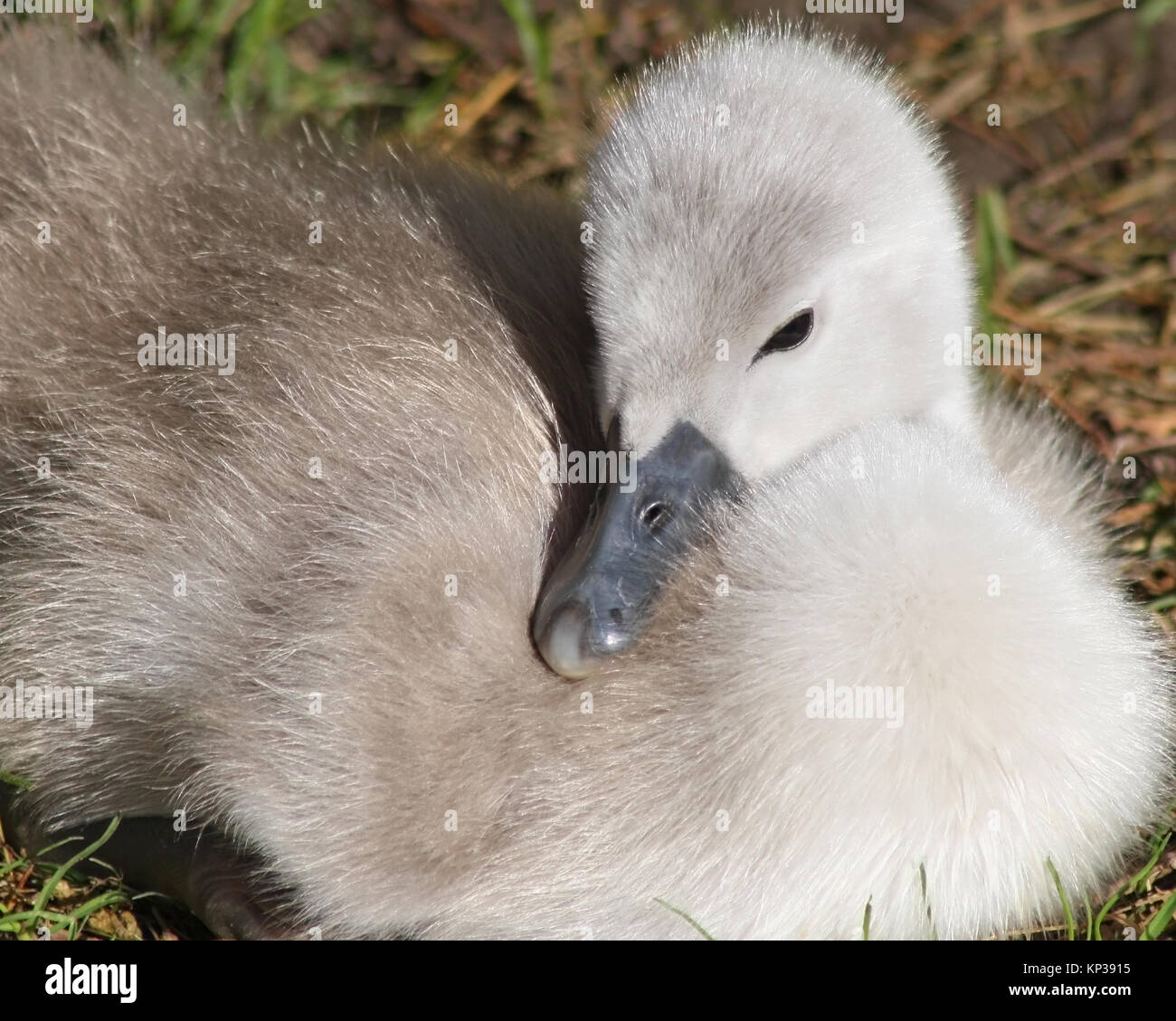 Soft and fluffy baby Mute Swan.  This tiny Cygnet is less than one week old Stock Photo