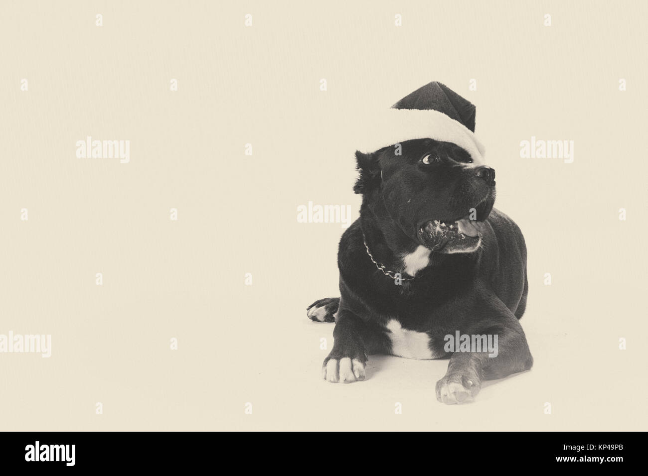 black pit bull with santa hut - Stock Image