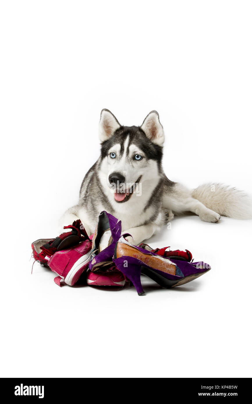 siberian husky with torn women shoes - Stock Image