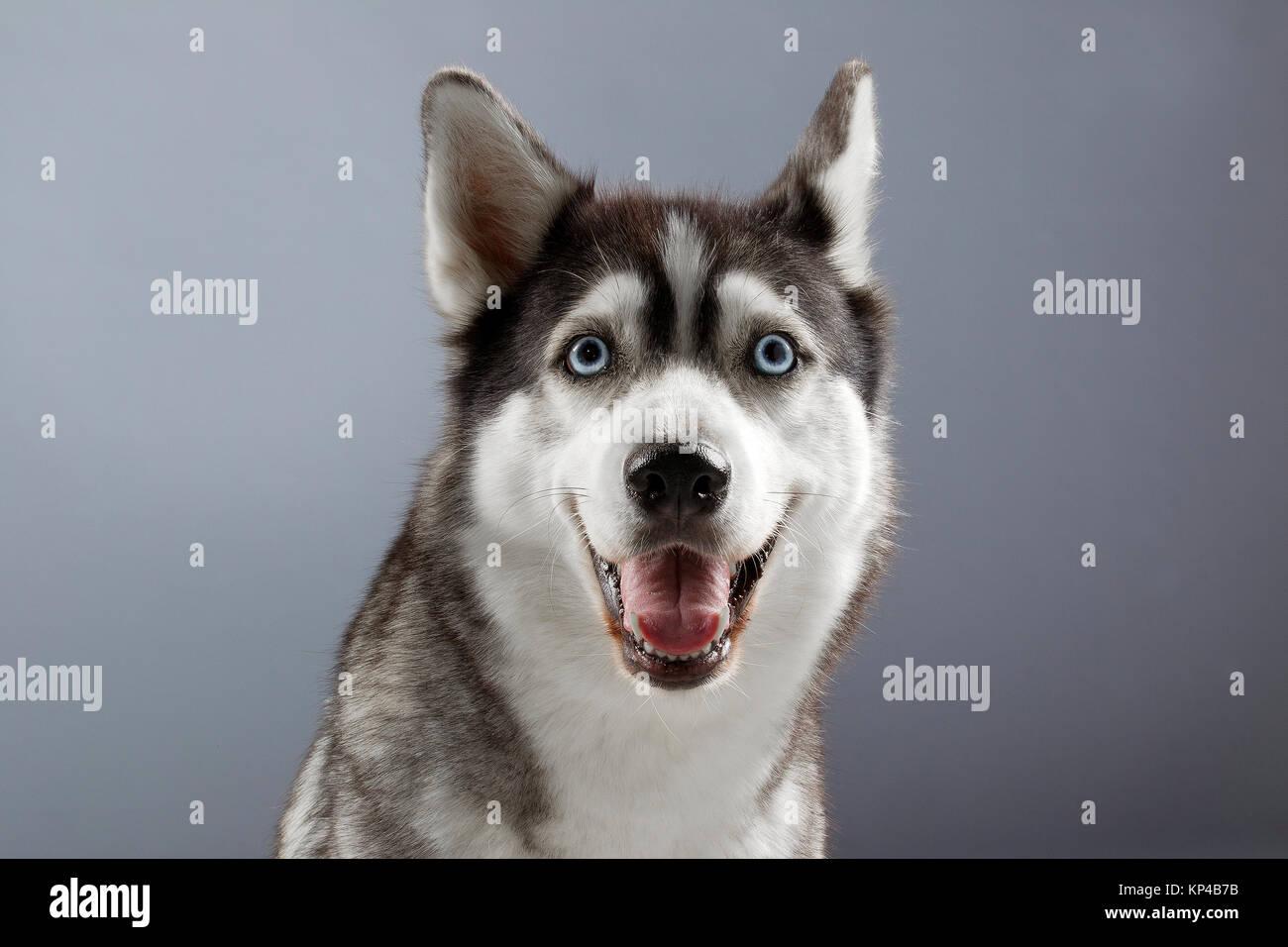 smiling husky in grey backgorund - Stock Image