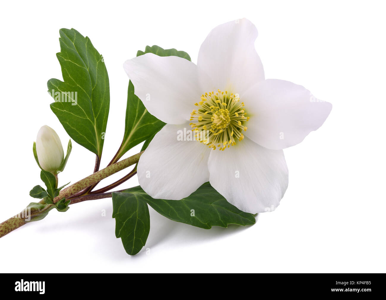Hellebore flower (Christmas rose) isolated on white Stock Photo