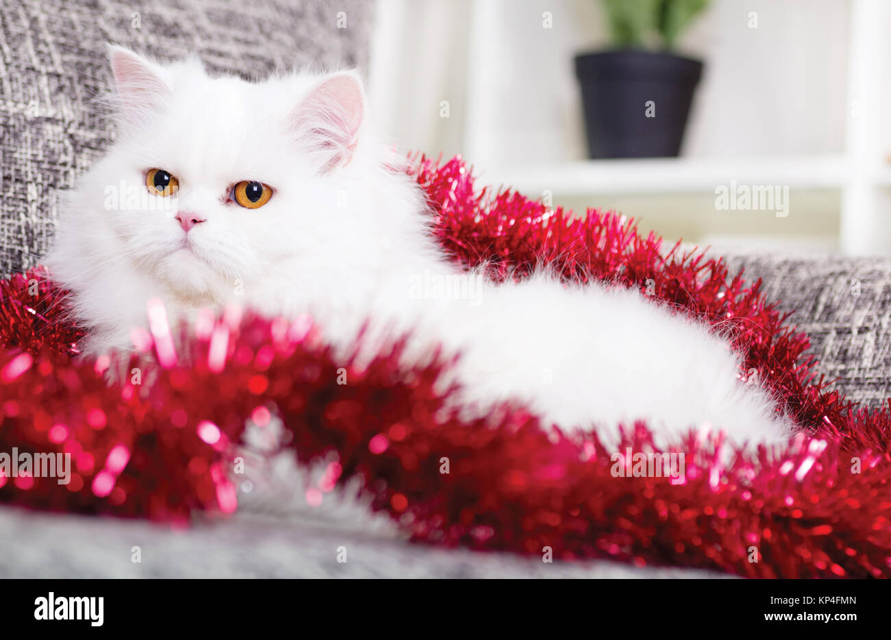 domestic adult white Persian cat - Stock Image