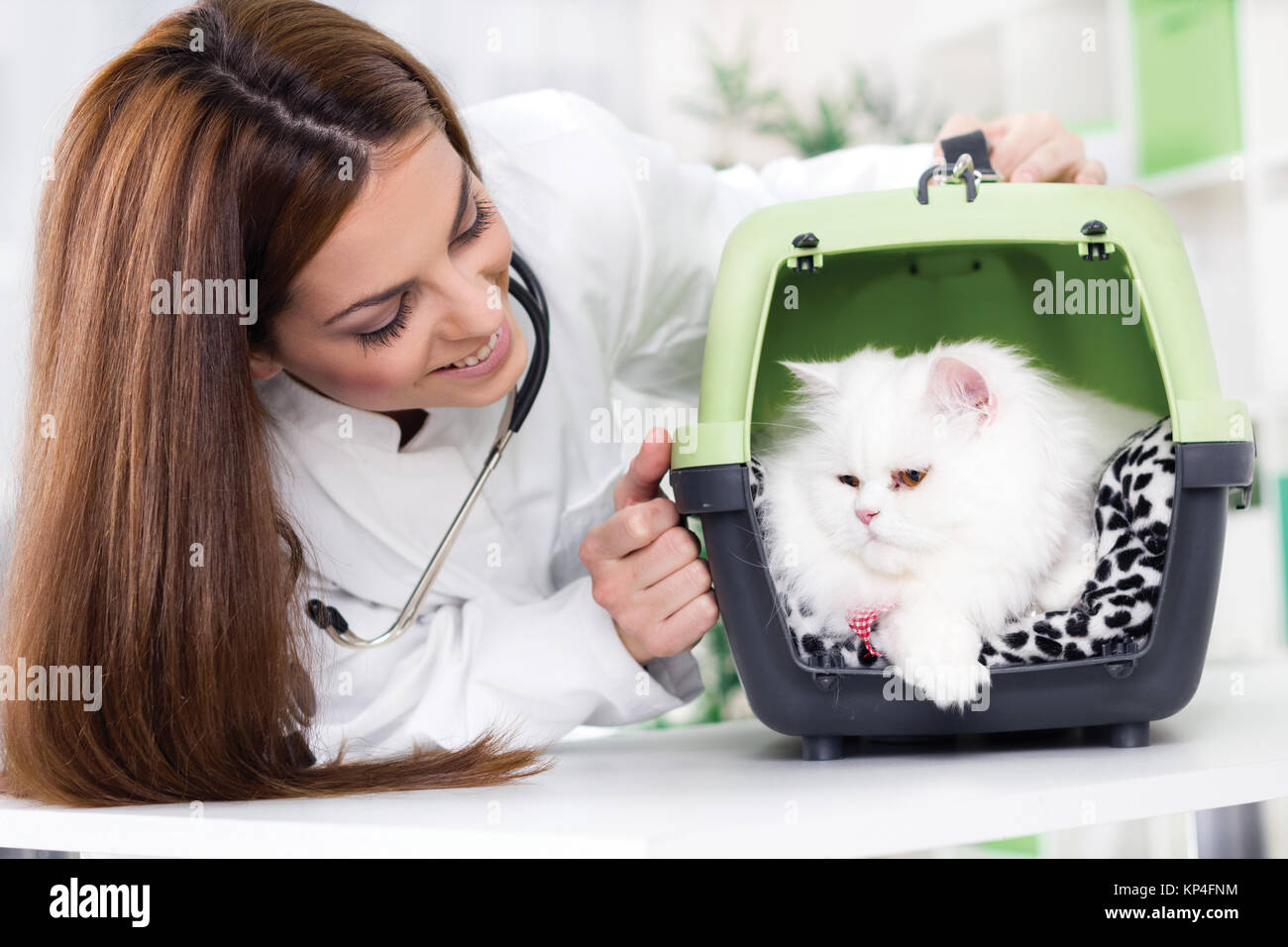 female wet  with stethoscope calms white Persian cat - Stock Image