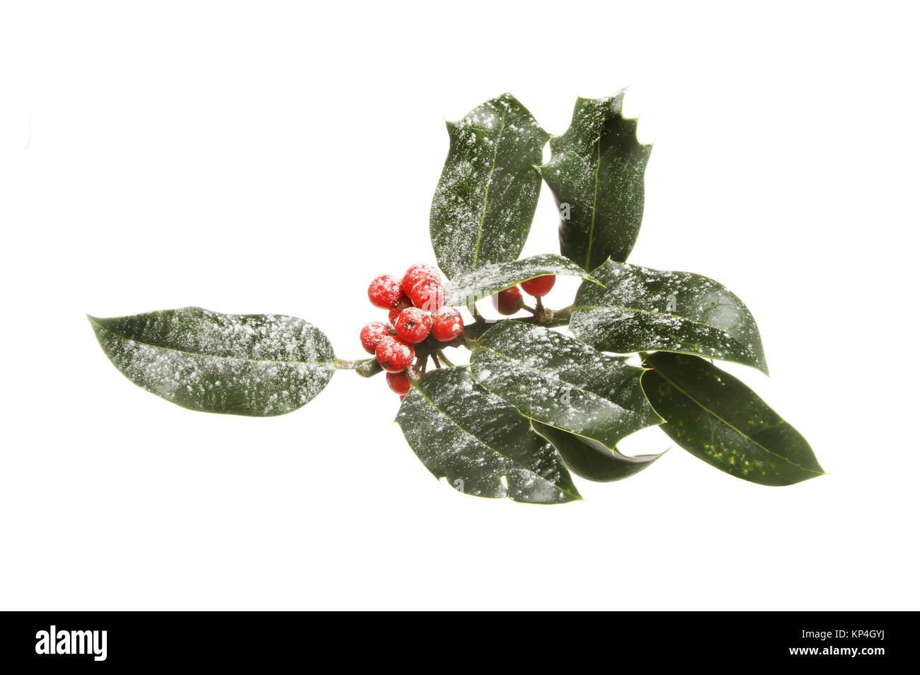 Snow dusted holly leaves and berries isolated against white - Stock Image