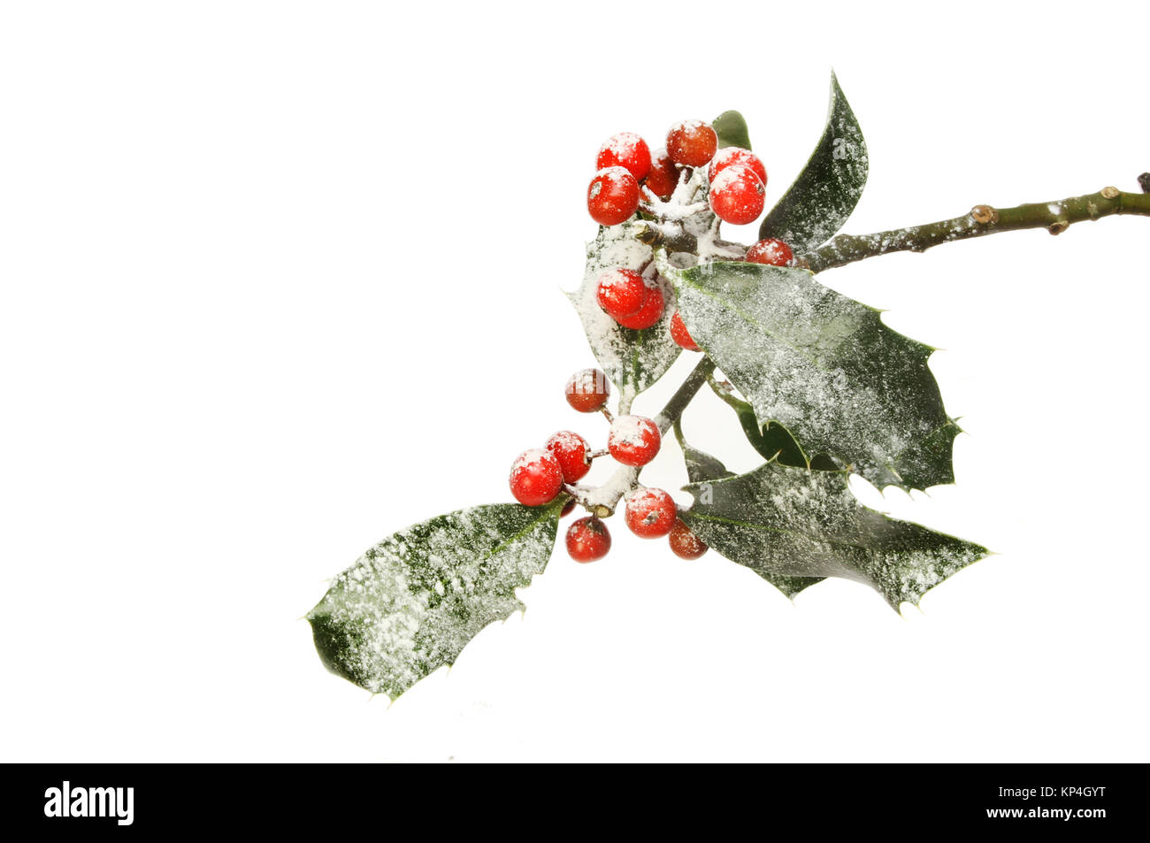 Snow dusted holly with ripe red berries isolated against white - Stock Image