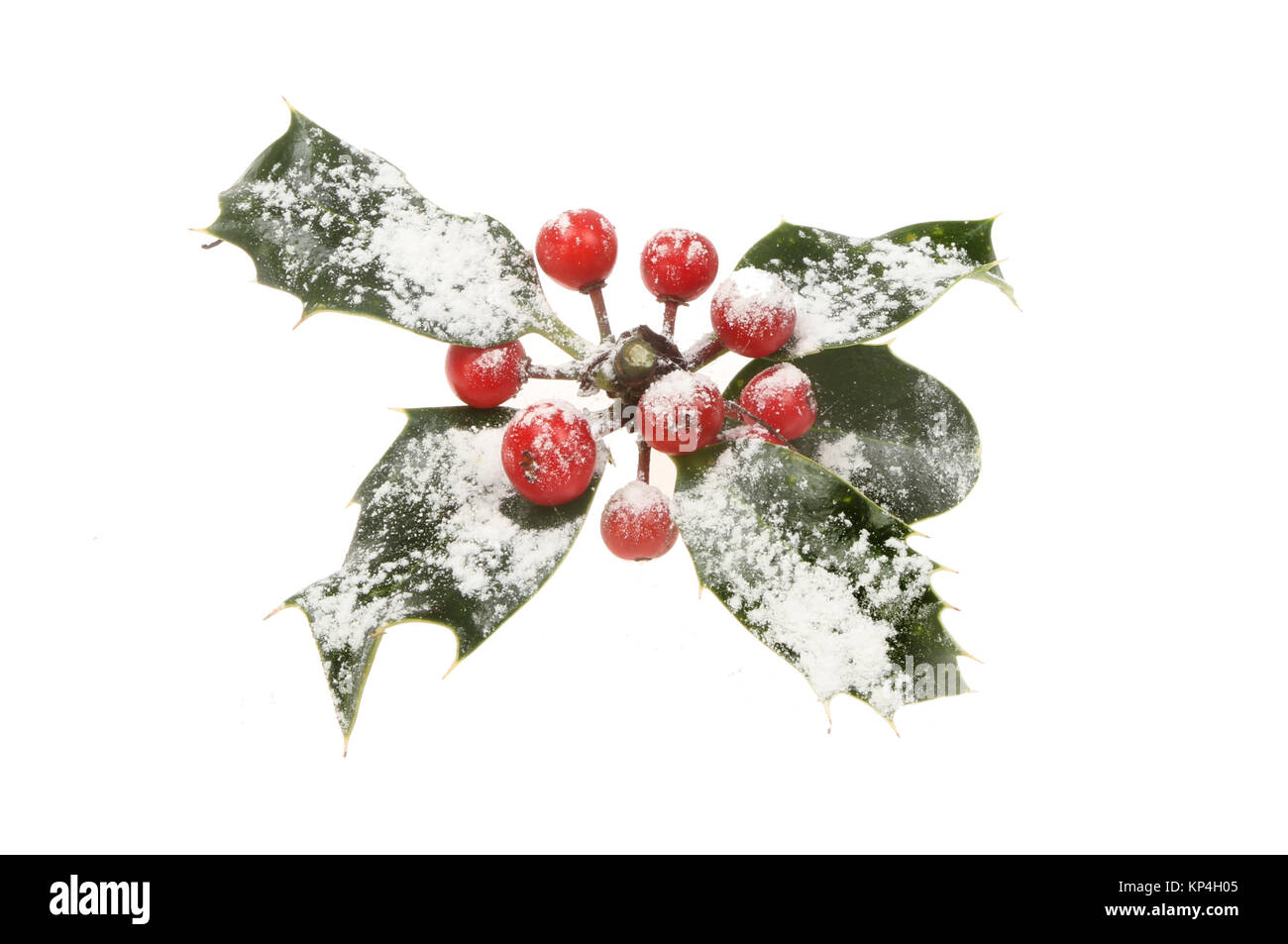 Sprig of holly dusted with snow isolated against white - Stock Image
