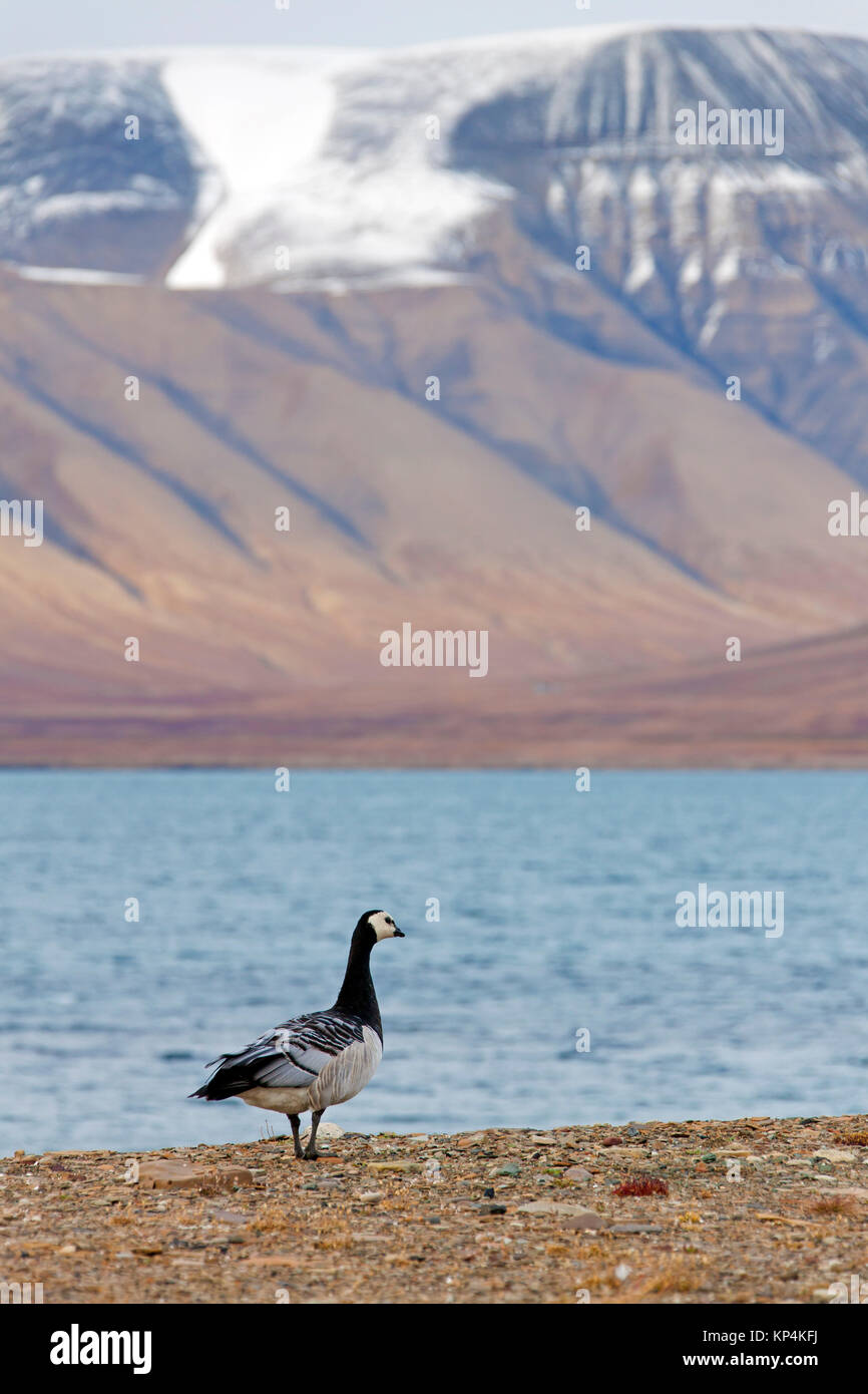 Barnacle goose (Branta leucopsis) along shore of Arctic fjord on Svalbard / Spitsbergen, Norway - Stock Image