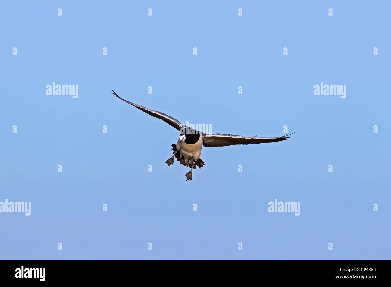 Barnacle goose (Branta leucopsis) in flight and landing - Stock Image