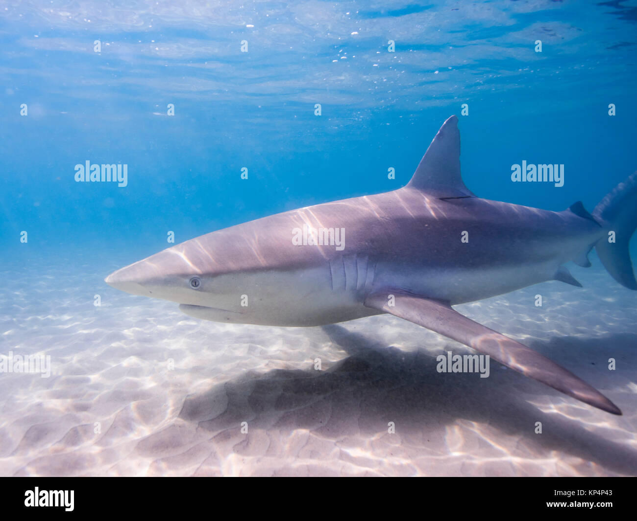 Dusky shark (Carcharhinus obscurus) a species of requiem shark, in the family Carcharhinidae, occurring in tropical - Stock Image