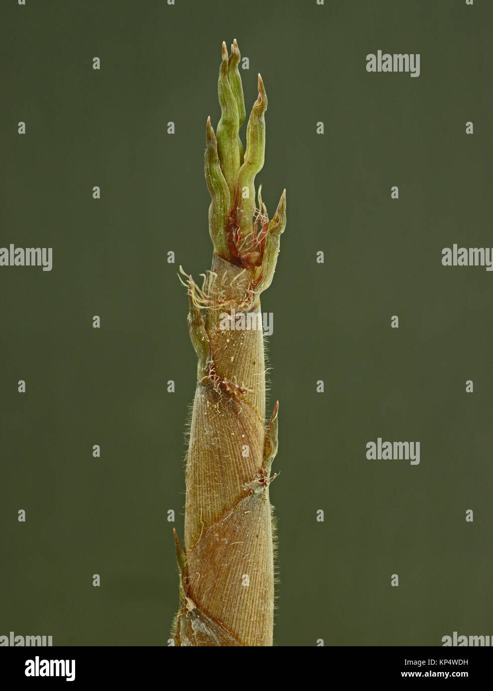 Close up of a bamboo shoot of the black bamboo - Stock Image